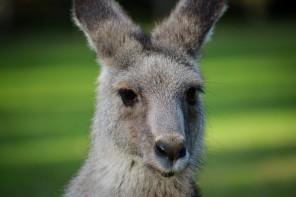 Den Kängurus und Koalas ganz nah